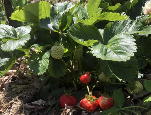 Strawberries are Popping, so are Donations